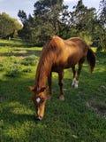 Bruin paard bij Belton-Gebied van de Meer het Openluchtrecreatie royalty-vrije stock foto's