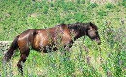 Bruin paard bij bloeiende weide Stock Foto's