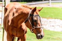 Bruin paard bij boerderij Stock Foto's