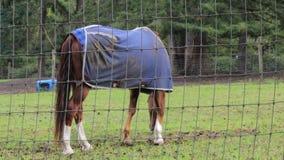 Bruin paard bij het groene gras weiden in de zomer stock footage