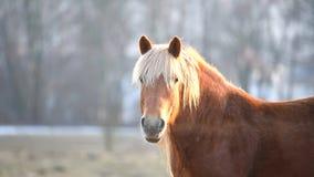 Bruin paard bij het weiden bij zonsondergang stock footage