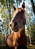 Bruin paard in bos Royalty-vrije Stock Foto