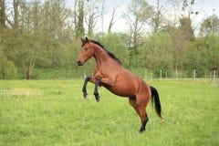 Bruin paard dat in een weide steigert Stock Afbeeldingen