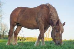 Bruin paard dat gras op het gebied eet Royalty-vrije Stock Afbeelding