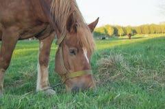 Bruin paard dat gras op het gebied eet Royalty-vrije Stock Foto