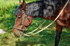 Bruin paard dat gras op het gebied eet stock foto