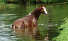 Bruin paard in de rivier stock fotografie