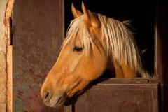 Bruin Paard in de Stal Royalty-vrije Stock Afbeeldingen