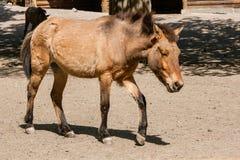 Bruin paard in de zon Stock Fotografie