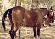 Bruin paard die buiten rusten Stock Foto