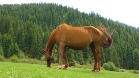Bruin paard die groen gras op de zomerweide eten op bosachtergrond stock videobeelden