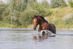 Bruin paard die in het water lopen Stock Afbeelding