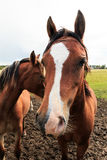 Bruin paard die vooruit eruit zien Royalty-vrije Stock Foto's