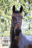 Bruin paard die worden gewassen Royalty-vrije Stock Foto's