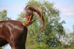 Bruin paard die zijn staart slingeren Stock Fotografie