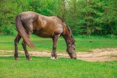 Bruin paard in een bos stock foto