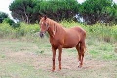 Bruin Paard in een weide Stock Afbeelding