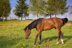Bruin paard in het landbouwbedrijf Stock Afbeeldingen