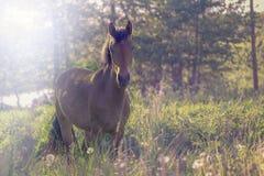 Bruin paard in het midden van een weide in het gras Royalty-vrije Stock Foto