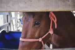 Bruin paard in houten stabiel, dierlijk landbouwbedrijf stock afbeeldingen