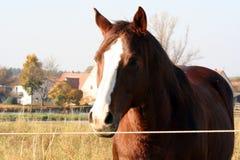 Bruin Paard in Landbouwbedrijf stock afbeelding