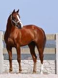 Bruin paard met een witte vlek stock foto's
