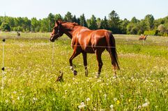Bruin paard met weinig bruine hond op het gebied stock afbeeldingen