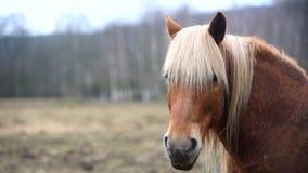 Bruin paard met witte manen stock footage