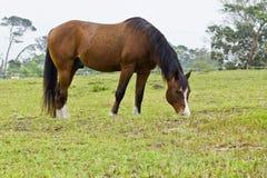 Bruin paard met witte noteringen Stock Foto
