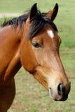 Bruin paard met witte vlek Stock Afbeelding