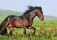 Bruin paard in motie Stock Afbeeldingen