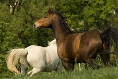 Bruin paard op de weide Stock Foto's