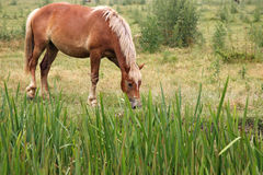 Bruin paard op gebied Stock Foto