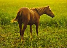 Bruin Paard op het Gebied Stock Foto's