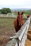 Bruin paard op landbouwbedrijf Royalty-vrije Stock Afbeelding