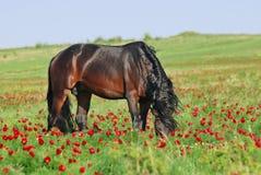 Bruin paard op weiland Stock Afbeeldingen