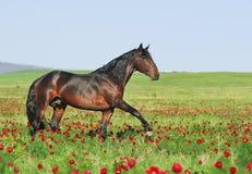 Bruin paard op weiland Royalty-vrije Stock Foto