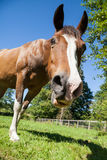 Bruin Paard in Paddock die neer Camera bekijken royalty-vrije stock foto's