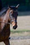 Bruin paard in platteland Royalty-vrije Stock Afbeeldingen