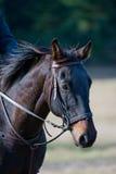 Bruin paard in platteland Royalty-vrije Stock Foto