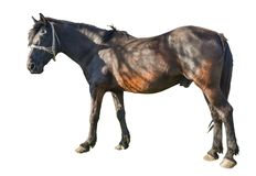 Bruin paard in rustende positie die op witte achtergrond wordt ge?soleerd stock fotografie