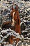 Bruin paard in sneeuwtakken Stock Fotografie