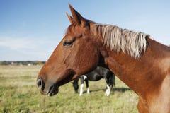 Bruin paardhoofd Royalty-vrije Stock Foto's
