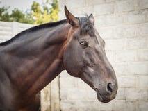Bruin paardhoofd stock foto