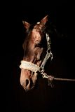 Bruin paardhoofd over zwarte achtergrond Royalty-vrije Stock Afbeeldingen