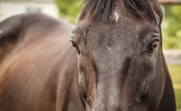 Bruin paardhorloge royalty-vrije stock afbeeldingen