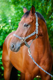 Bruin paardportret Stock Fotografie