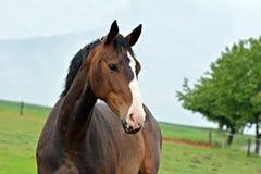 bruin paardportret royalty-vrije stock afbeelding