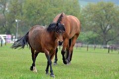 bruin paardportret stock foto's
