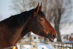 Bruin paardportret bij het stabiele weiland Stock Afbeelding